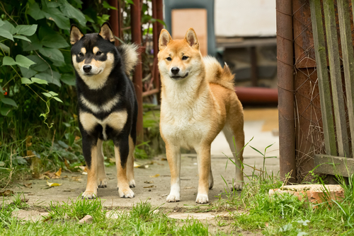 Are Shiba Inus Good Family Dogs