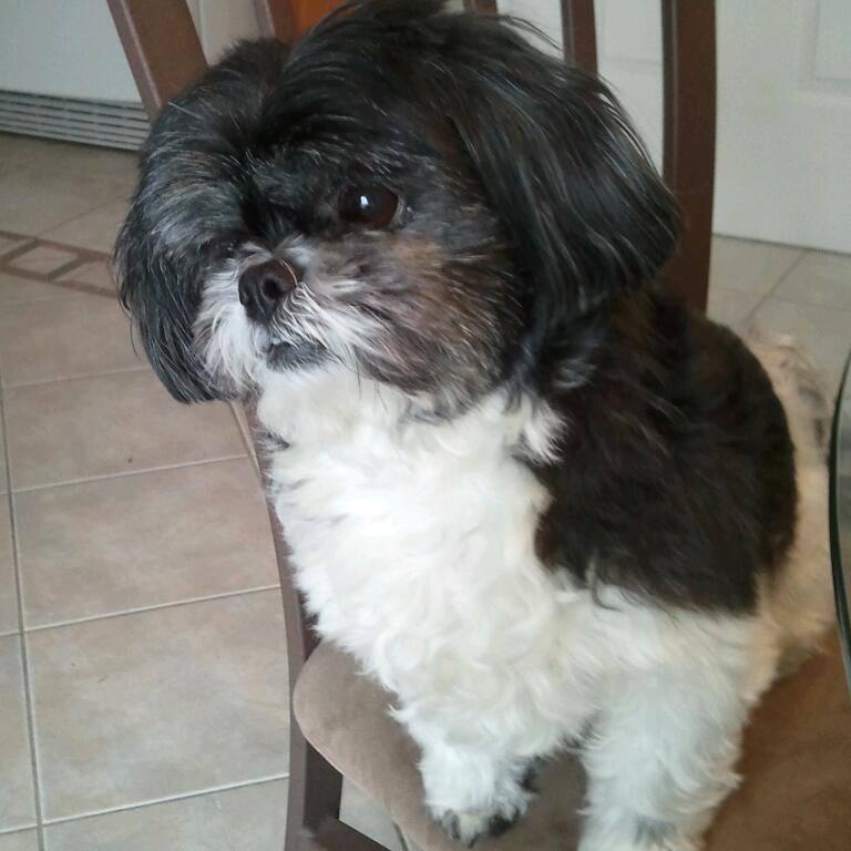 Shih Tzu Skin Problem And Need Help Iheartdogs