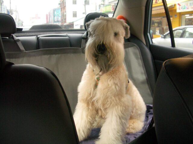Shaggy Wheaten Terrier in car
