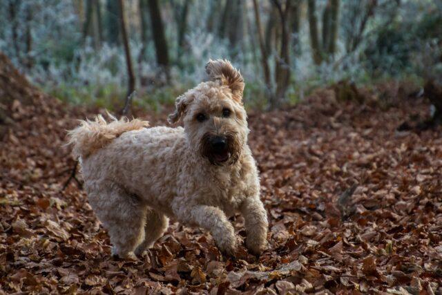 Wheaten Terrier running
