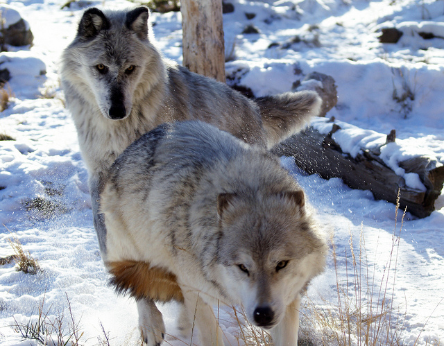 What Are The Main Differences Between Dogs And Wolves?