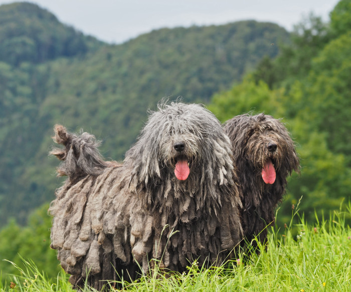 Meet The 7 New Dog Breeds Introduced By The AKC--All From