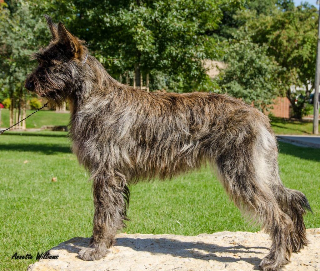 Medium Sized Shaggy Dog Breeds