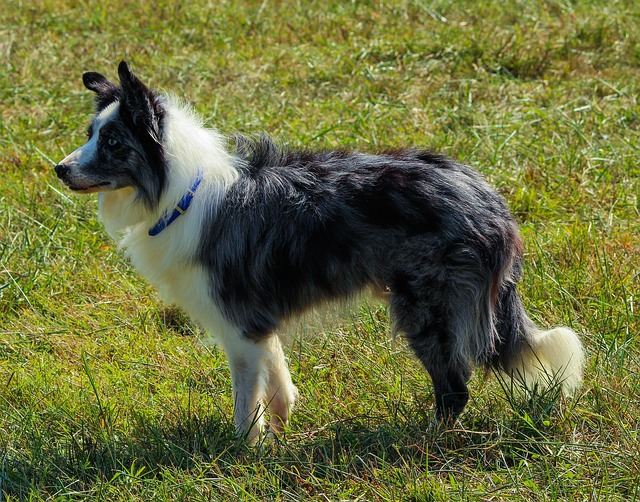7 border-collie-191776_640