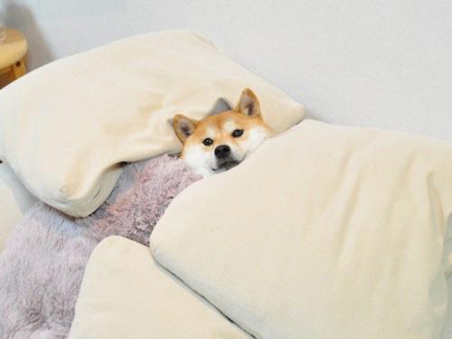 tucked in shiba