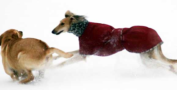 d10 saluki-dog-coat