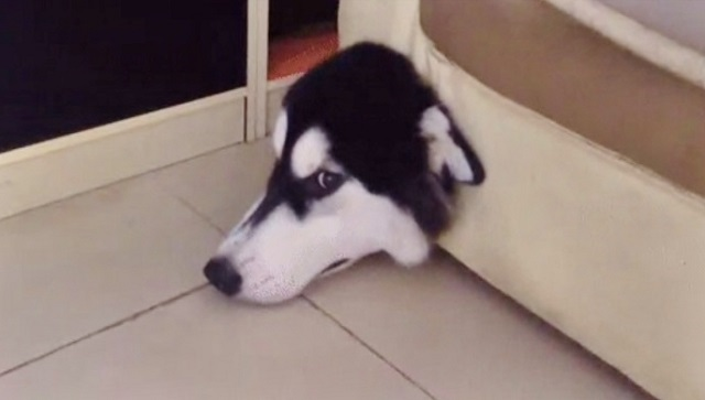 Dog Gets Stuck In A Couch Trying To Catch A Mouse