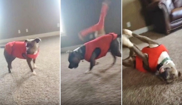 dog does cartwheel