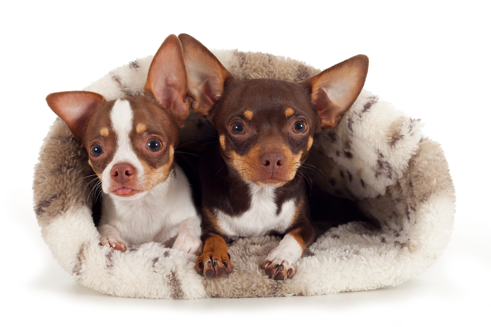 On The Akc S Most Por Dog Breeds In America List Chihuahuas Rank 24 Out Of 178 Listed Not Too Shabby