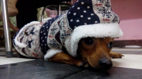 What Dog Food Do Chihuahuas Need