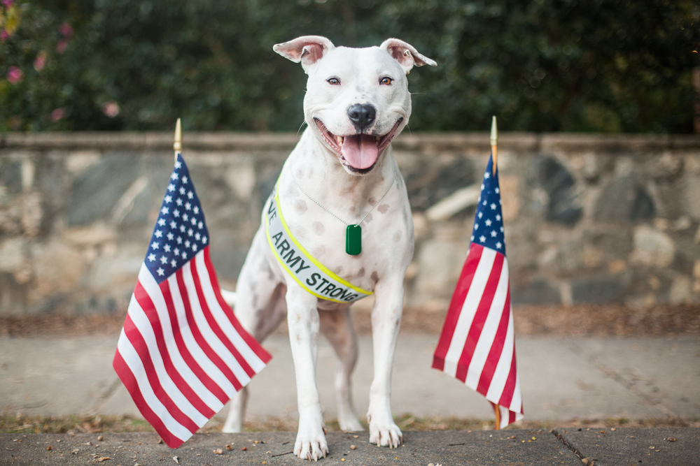 Wonderful Pit Bull Army Adorable Dog - army-strong  Gallery_978279  .jpg