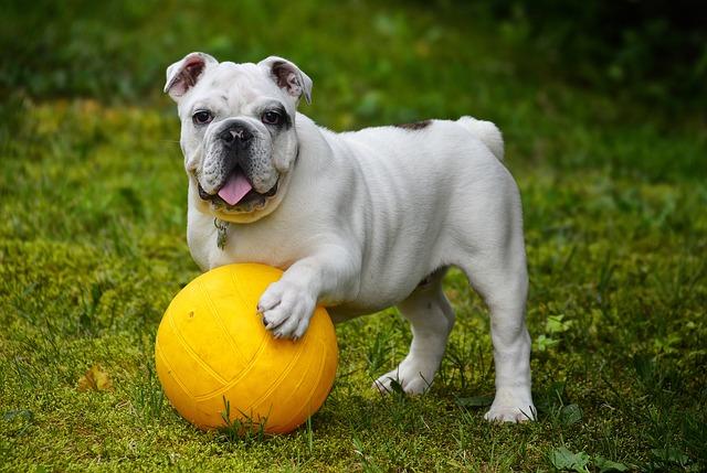 dt4 english-bulldog-562723_640