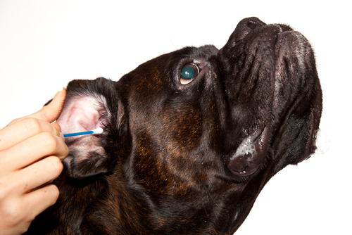 Ask A Vet Can I Treat My Dog S Ear Infection At Home