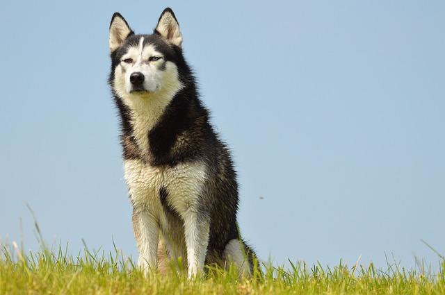 Can Husky Guard Dog