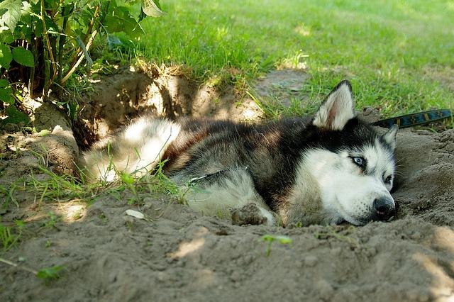 husky in hole