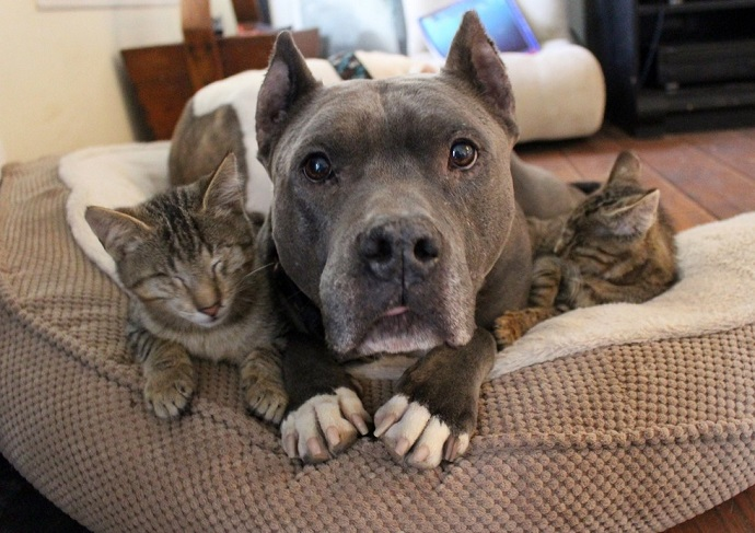 pit bull cats