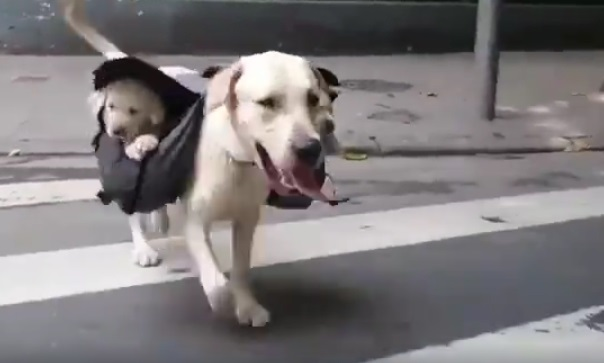 Just A Daddy Dog Toting His Pups Along With Him In A Backpack!