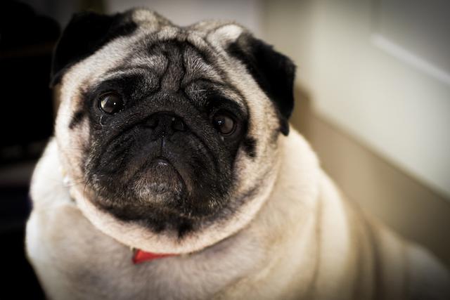 confused pug