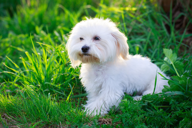 15 Dog Breeds That Hardly Shed Iheartdogs Com