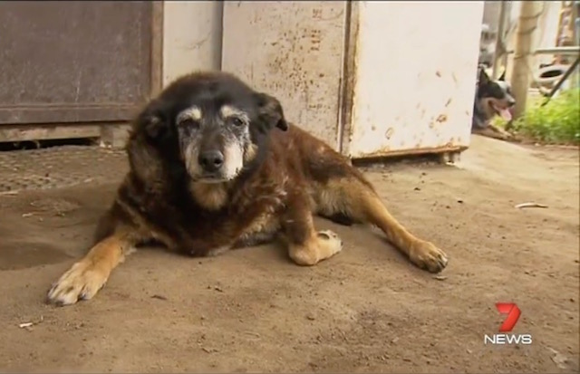 Maggie May Be The Oldest Dog To Ever Live Dying At Age 30
