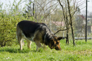 5 Causes Canine Eat Grass
