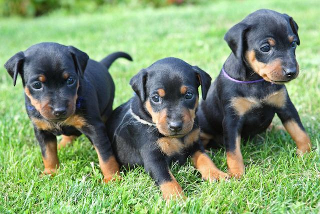 Dobie Puppy