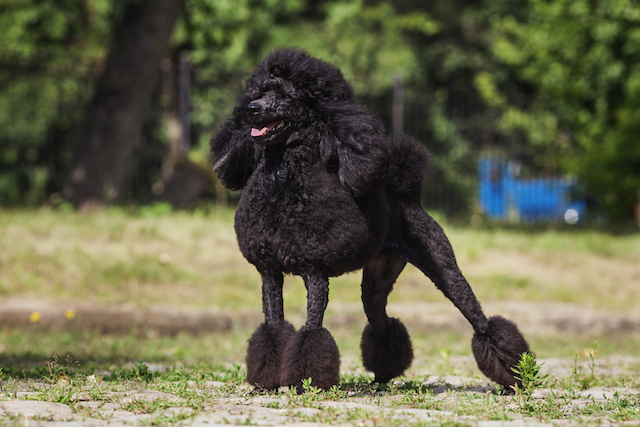 All About Poodles 9 Things You Didn T Know