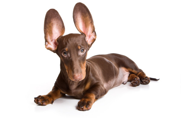 Why Do My Dog S Ears Smell So Bad