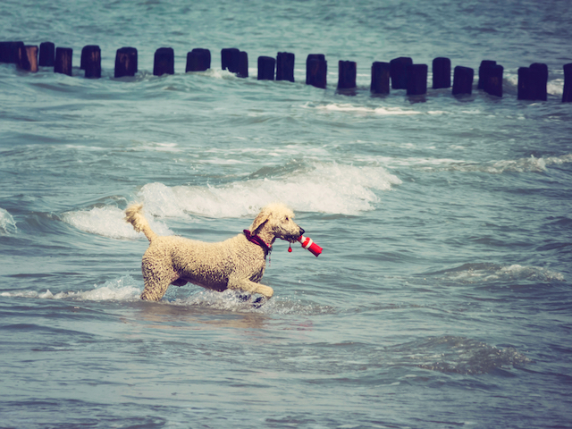 All About Poodles: 9 Things You Didn\'t Know
