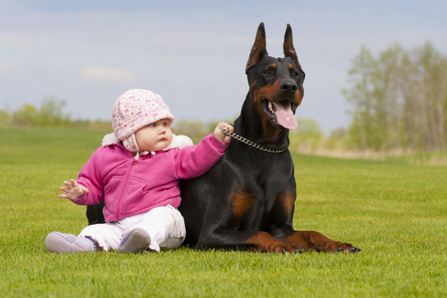 All About Dobermans 11 Things You Didn T Know