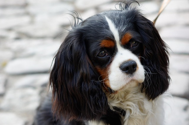 The Cavalier King Charles Spaniel Is A Loyal, Affectionate Dog That  Requires Very Little Physical Exercise. They Are Docile Dogs That Are Adapt  Very Well To ...