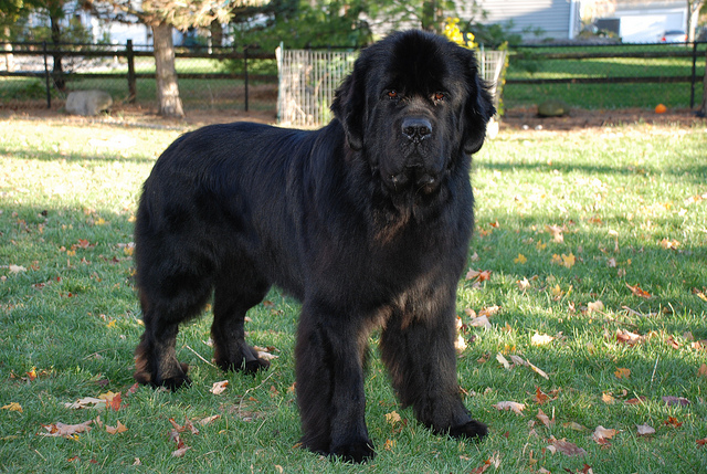 8 Large Dog Breeds That Are Big Babies