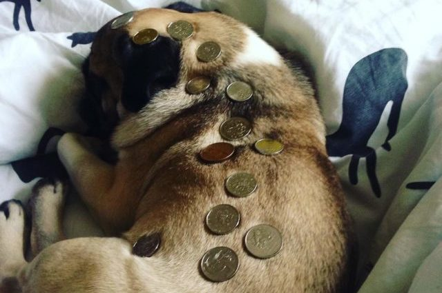 Pug dog covered in potentially toxic coins