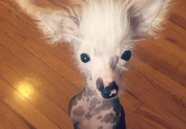 7 facts you may not know about chinese crested dogs
