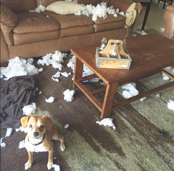 Ask A Dog Trainer Why Does My Dog Destroy Things When I M