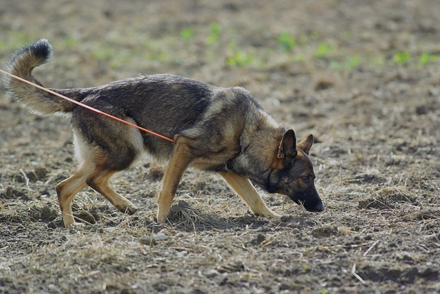 german-shepherd-707046_640