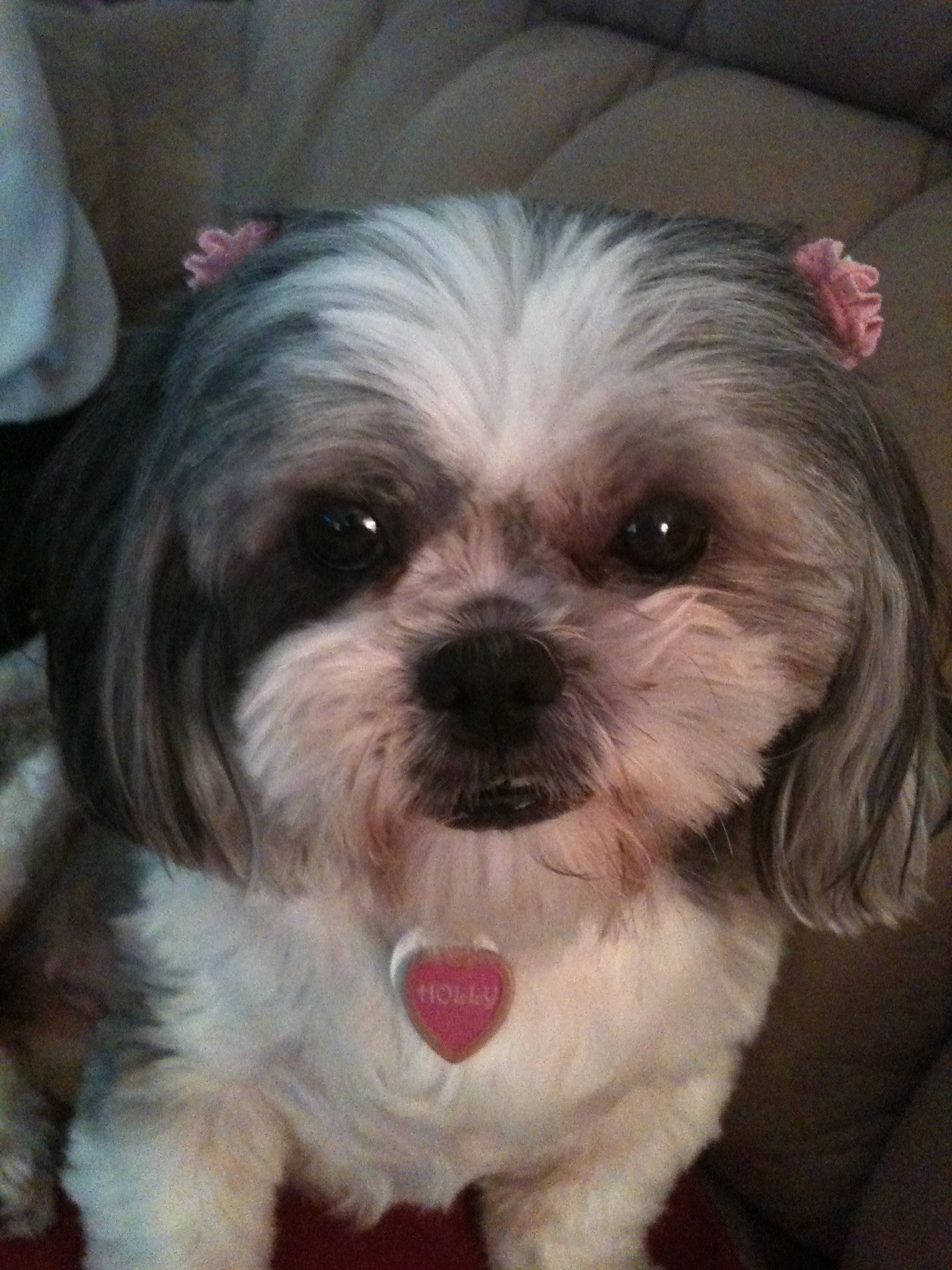 My Shih Zue Is 15 Help On Coughing Iheartdogs Com