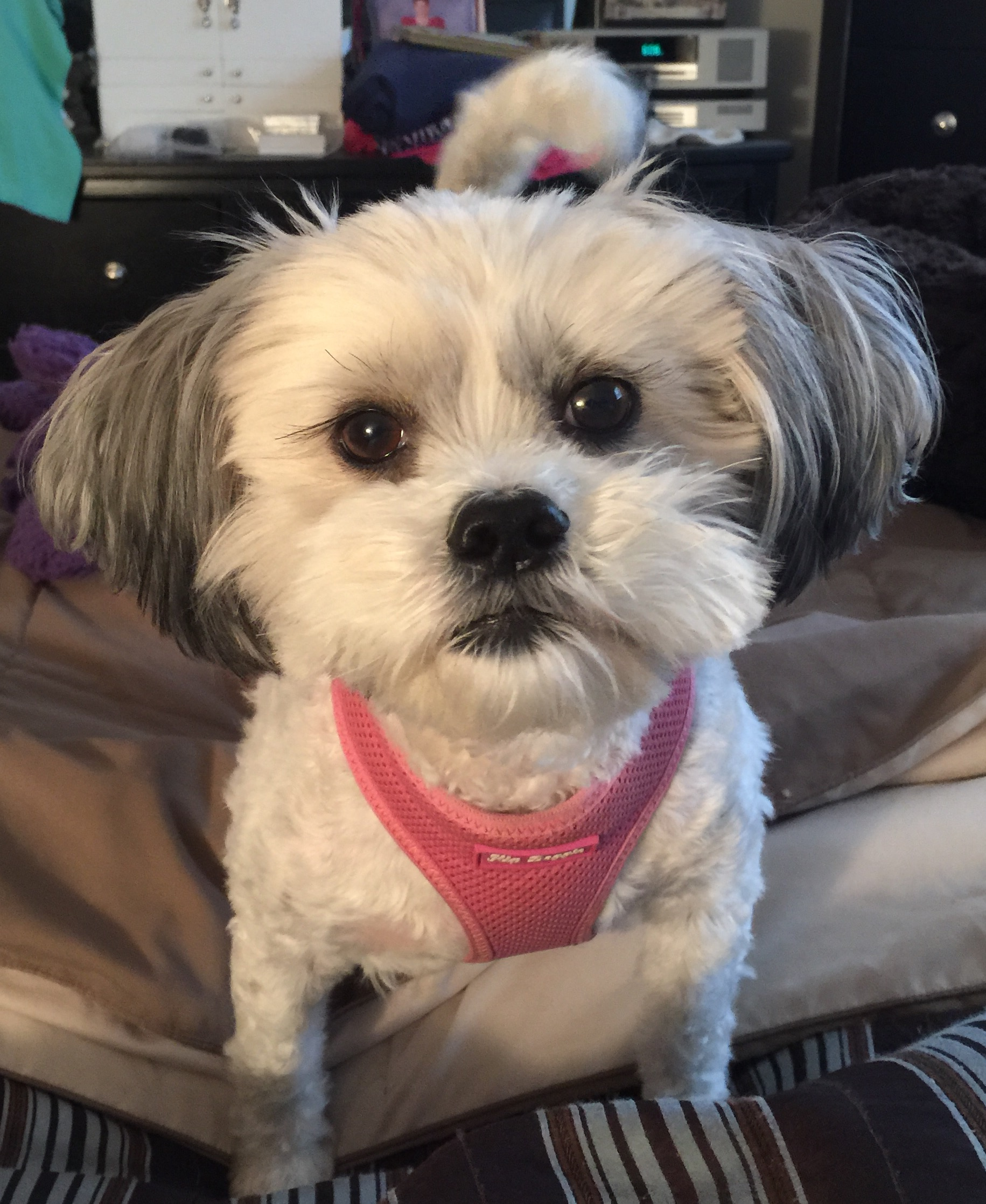 Shih Tzu With Calcium Oxolate Bladder Stones Iheartdogscom