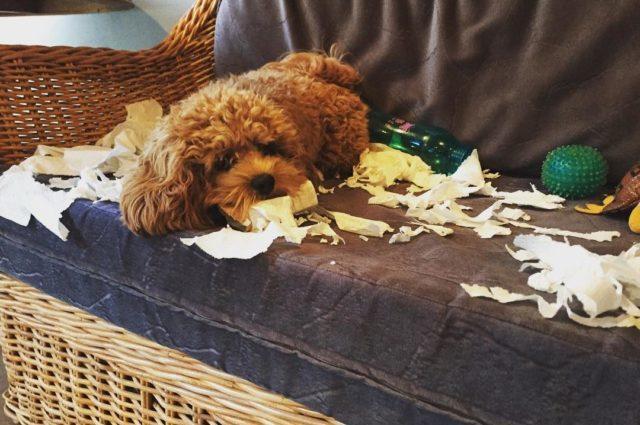 Poodle dog shredding paper