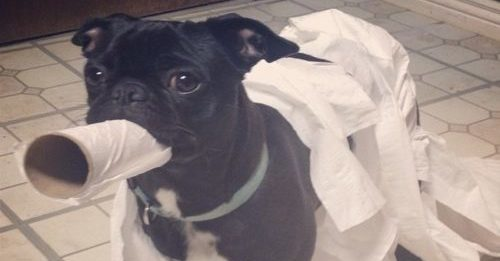 Black pug covered in toilet paper and carrying a toilet paper roll