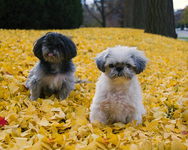 Toy Dog Breeds : Popular toy dog breeds you need to know about