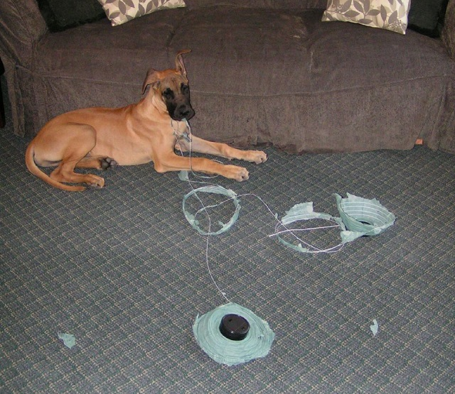 f6cfd23a 5 Signs Your Great Dane Is Bored & What To Do About It