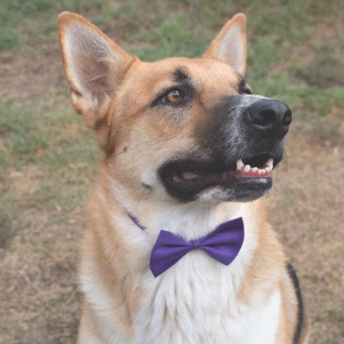 Adjustable Dog Purple Bowtie (SECRET STORE)