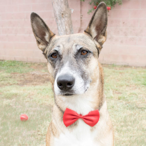 Adjustable Dog Red Bowtie (SECRET STORE)