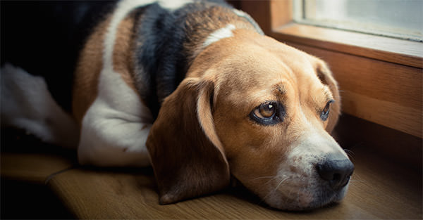 This Disease Affects 85% of Dogs. Is Your Pup Silently Suffering?