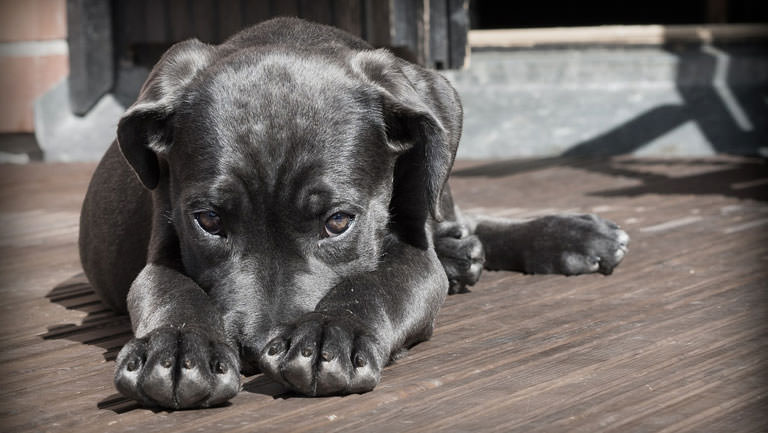 This Disease Affects 80% of Cane Corsos. Is Your Pup Silently Suffering?