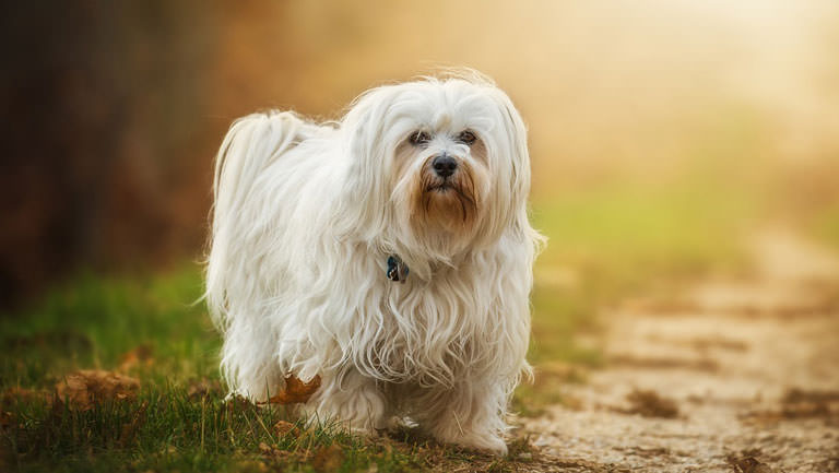 This Disease Affects 80% of Havaneses. Is Your Pup Silently Suffering?