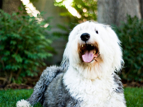3 Simple Ways To Keep Your Old English Sheepdog S Teeth Clean
