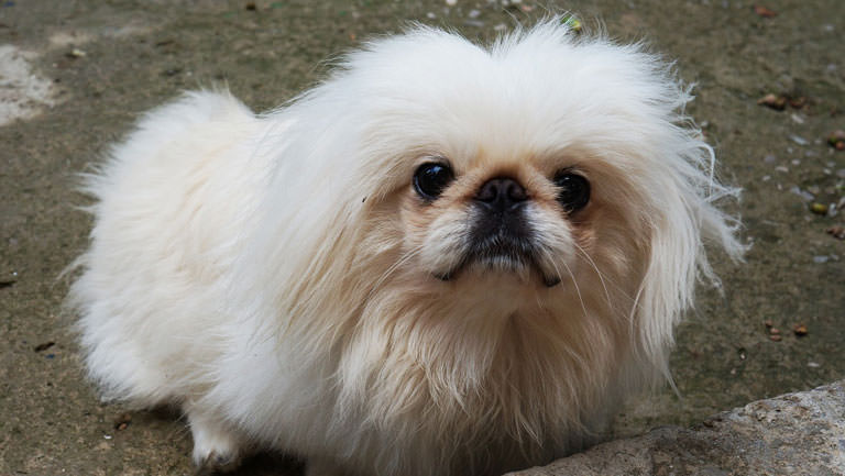 This Disease Affects 80% of Pekingeses. Is Your Pup Silently Suffering?