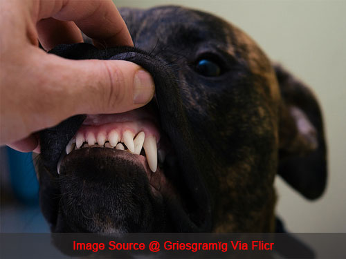 3 Simple Ways To Keep Your Pit Bull's Teeth Clean